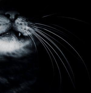 Кошки-вампиры